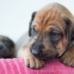 Caladesi Dexterridge litter – 4 weeks old