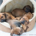 Caladesi Dexterridge litter – 5 weeks old