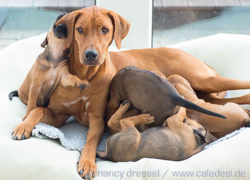 Caladesi Dexterridge litter – 5 weeks old