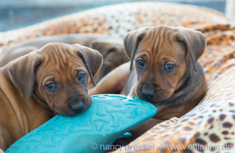 Caladesi Dexterridge litter – 6 weeks old