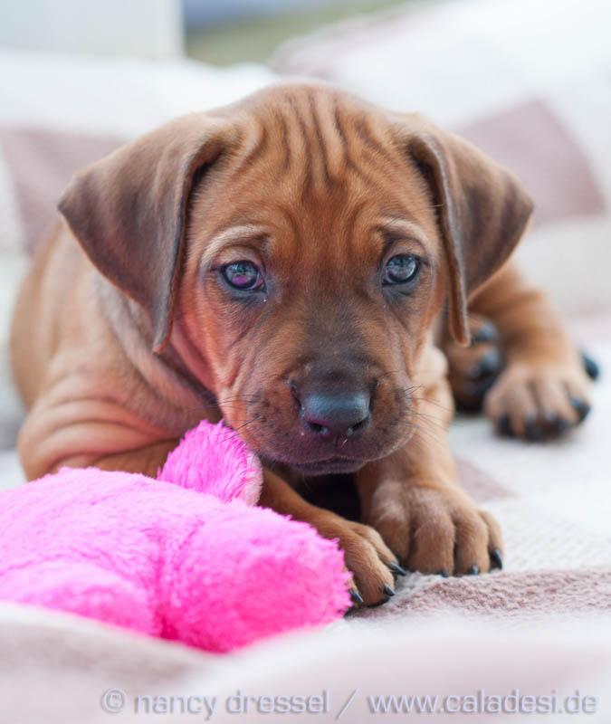 Caladesi Dexterridge litter – 6 weeks old