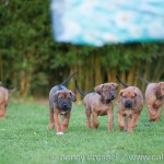 Caladesi Dexterridge litter – 7 weeks old