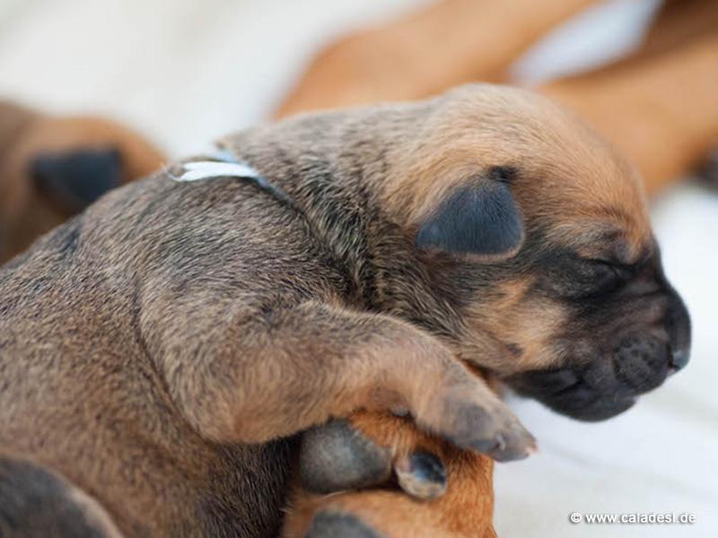 Caladesi Dexterridge litter - 1 week old