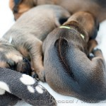 Caladesi Dexterridge litter – 2 week old