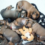 Caladesi Dexterridge litter – 3 week old
