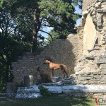 Argos & Dexter at Bara Church Ruin